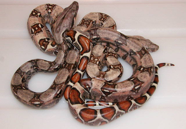 MARRON LIGHT AND DARK HET VPI CARAMEL ALBINO BORN 05/14/11 BORN 05/14/11