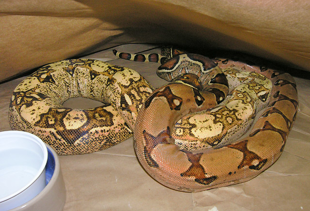MARRON MALE AND VPI PINK PANTHER CARAMEL ALBINO FEMALE 01/11