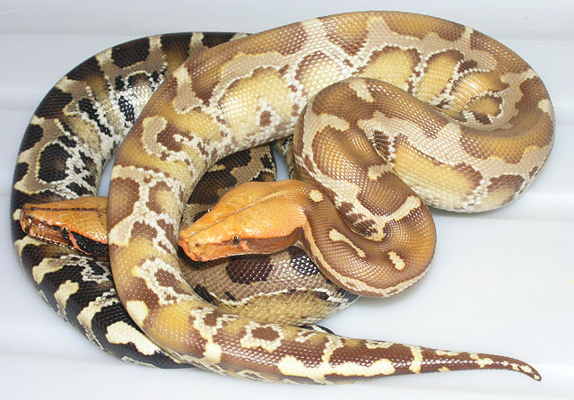 VPI Caramel Albino Black Sumatran Short-tail Pythons hatched 2007: This pair will be ready to breed in 2010.