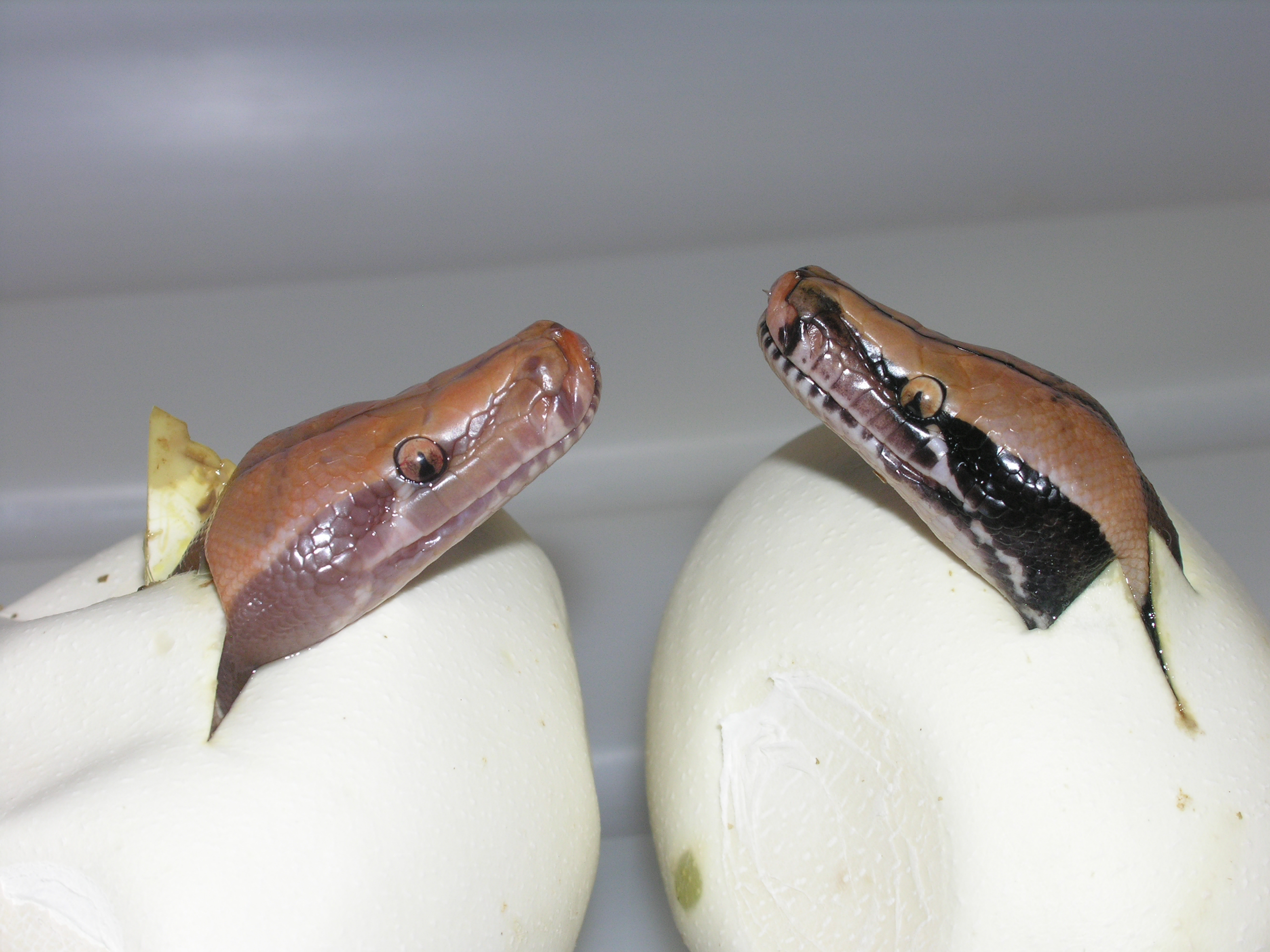Hatching Caramel albino and 100% het caramel albino Black Sumatran short tail pythons
