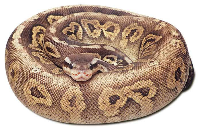 Black Pewter Ball Python The pewter ball python is a