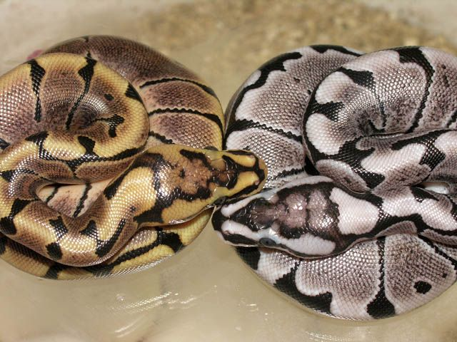 What is a woma ball python?