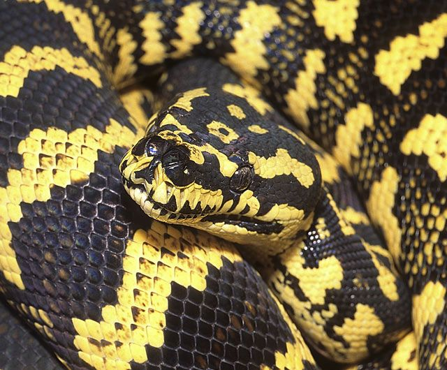 Jungle Carpet Python Habitat, Diet &amp- Reproduction - NSW