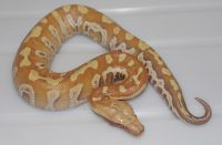 VPI RED ALBINO  RED X LINEAGE BLOOD PYTHON PYTHON BRONGERSMAI MALE 2013