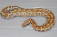VPI RED ALBINO  BLOOD PYTHON PYTHON BRONGERSMAI MALE 2013