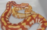 VPI RED TNEG ALBINO BLOOD PYTHON PYTHON BRONGERSMAI 2012 AND 2013