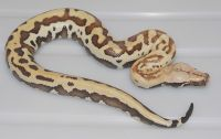 VPI GOLDEN EYE RED BLOOD PYTHON PYTHON BRONGERSMAI FEMALE 2013