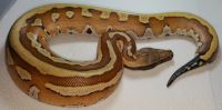 VPI Super Stripe Blood Python Python brongersmai Male #1