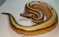 VPI Super Stripe Blood Python Python brongersmai Female #3