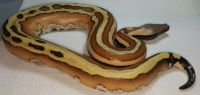 VPI Super Stripe Blood Python Python brongersmai Male #4