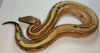 VPI Super Stripe Blood Python Python brongersmai Female #4
