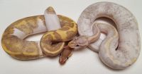 Banana  Pied M and Pastel Banana Pied M VPI 2018