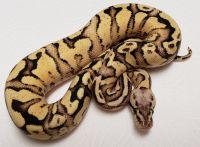 VPI Pastel Fire Vanilla Yellow Belly M 1 Ball Python Python regius