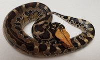 ORANGE HEAD SUMATRAN PYTHON CURTUS