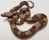 IMG BOA T+ CONSTRICTOR