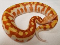 RED ORANGE T NEG PYTHON BRONGERSMAI