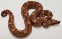 RED HYPO AZTEC POSSIBLE HET T 66% BOA CONSTRICTOR