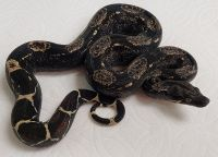 IMG PH T 66 M BOA CONSTRICTOR