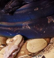 IMG H T 100 F AND PP JUNGLE T M BOA CONSTRICTOR