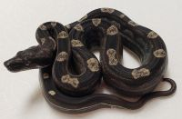 IMG MOTLEY 100 ANERY F BOA CONSTRICTOR