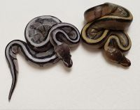 AXANTHIC GS 66 POSS HET LAVENDER AND GS 66 POSS DH AXANTHIC AND LAV PYTHON REGIUS