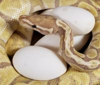 BANANA GHI F ON EGGS BRED TO SUPER GHI M PYTHON REGIUS