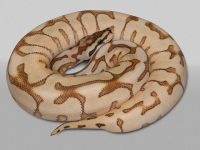 PE Desert Spider Yellow Belly Fire Ball Python Python regius