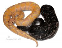 Banana Ball Python Male and VPI Black Axanthic Ball Python Male 2012