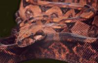 VPI blood boa yearling