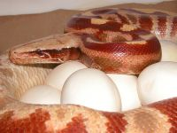 RED ALBINO FEMALE X VPI WROUGHT IRON MALE PYTHON BRONGERSMAI CLUTCH 05/06/13
