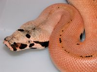 VPI MAGPIE RED BLOOD PYTHON PYTHON BRONGERSMAI COLOR CHANGE  2013