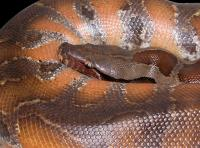 orange-blotched blood pythons