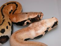 VPI MAGPIE AND GOLDEN EYE RED BLOOD PYTHON PYTHON BRONGERSMAI   2013