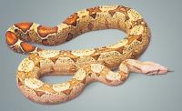 Yearling VPI Caramel-Albino Boa