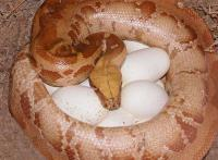 female albino on eggs