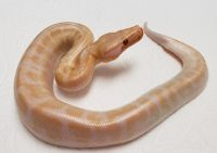 SUPER RED EYE RED T NEG PYTHON BRONGERSMAI