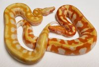 YELLOW AND ORANGE T NEG PYTHON BRONGERSMAI