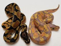 ORANGE DREAM HET PIED F 1 AND BANANA ORANGE DREAM HET PIED M 1