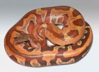 unusual red blood python