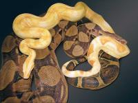 Sharp-albino breeding pastel / het-Sharp