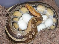 VPI striped Borneo and eggs