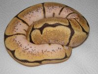 VPI ORANGE DREAM FIRE SPIDER BALL PYTHON PYTHON REGIUS 2012