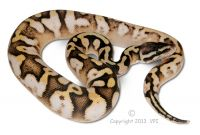 VPI Super Pastel Sugar Male 2012