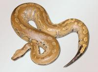 adult yellow blood python