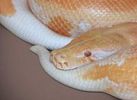 albino blood pair