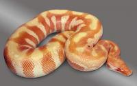 albino red blood
