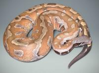 orange blood python