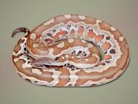 Orange-brown blood python